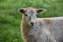 La testa di piccolo agnello sveglio sul pascolo Fotografie Stock Libere da Diritti
