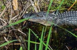 La testa di un alligatore americano che vi esamina Fotografie Stock Libere da Diritti