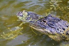La testa di un alligatore parzialmente ha sommerso in terreni paludosi lungo Monroe Junction Florida Immagini Stock