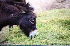 La testa di un animale dell'asino mangia l'alimento Immagini Stock Libere da Diritti