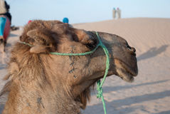 La testa di un cammello Immagini Stock Libere da Diritti