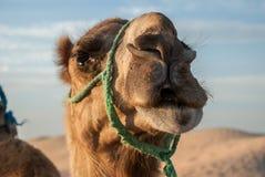 La testa di un cammello Immagine Stock