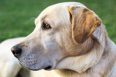 La testa di un cane di labrador Immagini Stock