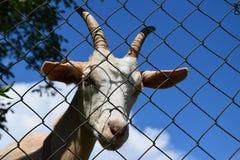 La testa di una capra bianca dietro un recinto di filo metallico Fotografia Stock