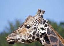 La testa di una giraffa fotografie stock libere da diritti