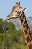 Testa e collo di una giraffa Fotografia Stock Libera da Diritti