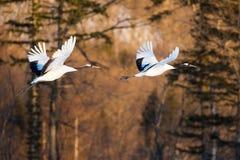 La testa giapponese Tancho di rosso cranes il volo ed il dancing a Kushiro, Hokkaido, Giappone durante l'inverno fotografia stock