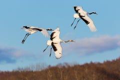 La testa giapponese Tancho di rosso cranes il volo ed il dancing a Kushiro, Hokkaido, Giappone durante l'inverno immagini stock