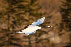 La testa giapponese Tancho di rosso cranes il volo ed il dancing a Kushiro, Hokkaido, Giappone durante l'inverno immagine stock libera da diritti