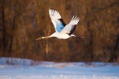 La testa giapponese Tancho di rosso cranes il volo ed il dancing a Kushiro, Hokkaido, Giappone durante l'inverno immagini stock libere da diritti