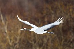 La testa giapponese Tancho di rosso cranes il volo ed il dancing a Kushiro, Hokkaido, Giappone durante l'inverno immagine stock