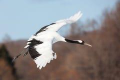 La testa giapponese Tancho di rosso cranes il volo ed il dancing a Kushiro, Hokkaido, Giappone durante l'inverno fotografia stock libera da diritti