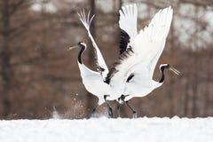 La testa giapponese Tancho di rosso cranes nell'Hokkaido, Giappone fotografie stock libere da diritti