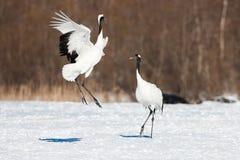 La testa giapponese Tancho di rosso cranes nell'Hokkaido, Giappone immagini stock libere da diritti