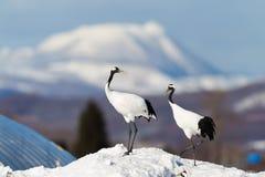 La testa giapponese Tancho di rosso cranes nell'Hokkaido, Giappone fotografia stock