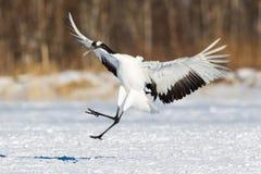 La testa giapponese Tancho di rosso cranes nell'Hokkaido, Giappone fotografia stock libera da diritti