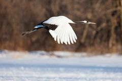 La testa giapponese Tancho di rosso cranes nell'Hokkaido, Giappone immagine stock libera da diritti