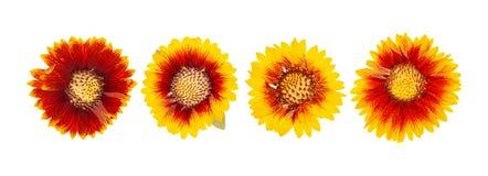 La testa ha premuto i fiori secchi isolati fotografie stock libere da diritti
