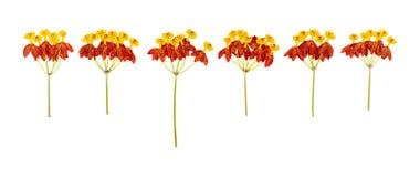 La testa ha premuto i fiori secchi isolati fotografia stock