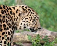 La testa laterale ha sparato del leopardo del Amur Fotografie Stock