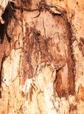 La textura ascendente del cierre de la corteza de madera en árbol cortó en fotografía de archivo libre de regalías