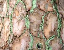 La textura de la corteza Imagen de fondo travieso Fotos de archivo libres de regalías