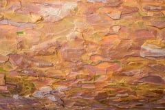 La textura de la corteza joven del pino Corteza del pino Corteza del pino de diversas sombras brillantes y calientes Imagen de archivo