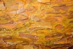 La textura de la corteza joven del pino Corteza del pino Corteza del pino de diversas sombras brillantes y calientes Foto de archivo libre de regalías