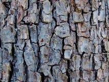 La textura de la corteza vieja de la pera imagen de archivo