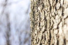 La textura de la corteza de árbol Fotografía de archivo libre de regalías