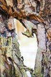 La textura de la corteza de árbol Foto de archivo