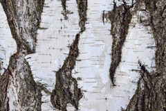 La textura de la corteza de abedul con el musgo es primer Imagenes de archivo