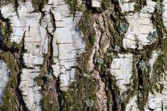 La textura de la corteza de abedul con el musgo es primer Imagen de archivo