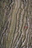 La textura de la corteza del roble Foto de archivo