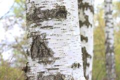 La textura de la corteza del tronco de árbol de abedul en primer de la arboleda del abedul Fotografía de archivo