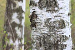 La textura de la corteza del tronco de árbol de abedul en primer de la arboleda del abedul Foto de archivo libre de regalías