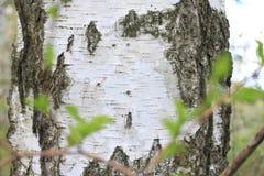 La textura de la corteza del tronco de árbol de abedul en primer de la arboleda del abedul Imagenes de archivo
