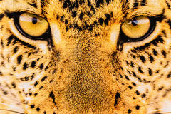 La textura de la tela ascendente de la impresión del cierre raya el leopardo Imágenes de archivo libres de regalías