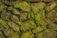 La textura de la pared de piedra vieja cubrió el musgo verde en el fuerte Rotterdam, Makassar - Indonesia imagenes de archivo