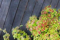 La textura de la planta del blumei del coleo se va en el fondo de madera foto de archivo libre de regalías