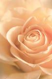 La textura de Rose Close Up beige hermosa Estilo de la vendimia Imagen de archivo libre de regalías