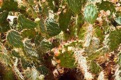 La textura de un cactus hermoso fuerte fresco caliente mexicano natural espinoso verde del desierto con las espinas y la arena Lo fotografía de archivo