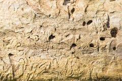 La textura de un registro de madera viejo sin la corteza, la superficie tiene mucho daño a los topetones de insectos Fotos de archivo libres de regalías