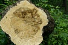 La textura de un tronco de árbol aserrado, tocón de un árbol Fotos de archivo libres de regalías