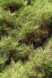 La textura del árbol de pino Imagen de archivo libre de regalías