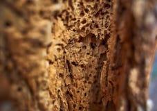 La textura del árbol putrefacto viejo en el bosque, corroída por los parásitos foto de archivo libre de regalías