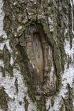 La textura del abedul de la corteza de árbol se daña Imagen de archivo libre de regalías
