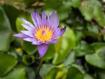 La textura del agua púrpura lilly fotografía de archivo