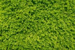 La textura del pequeño verde deja el fondo de la pared Ciérrese encima de poca f fotografía de archivo libre de regalías