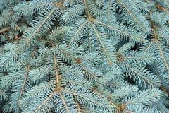 La textura del pino azul ramifica primer Visión desde arriba Imágenes de archivo libres de regalías